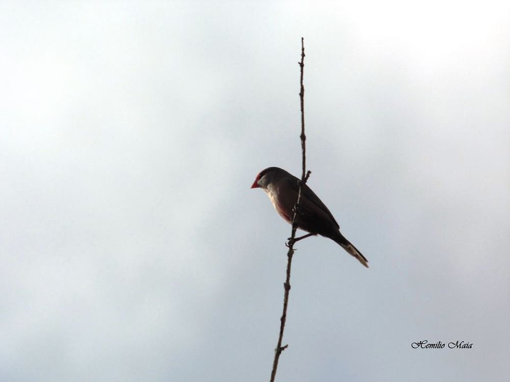 Pássaro bico de laicra /fauna - Brazil by Hemilio Maia