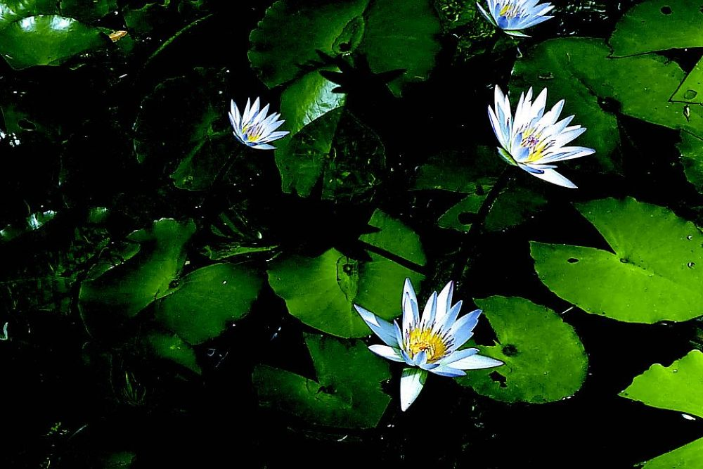 meditating by the lotus pond by william magtibay