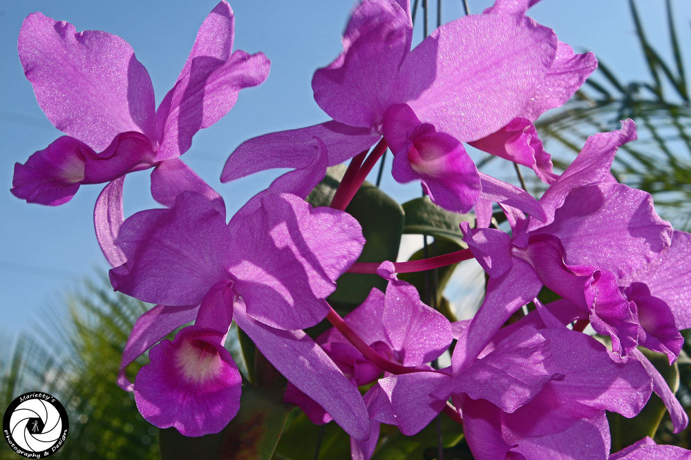 Orchids by Marietty Rodriguez