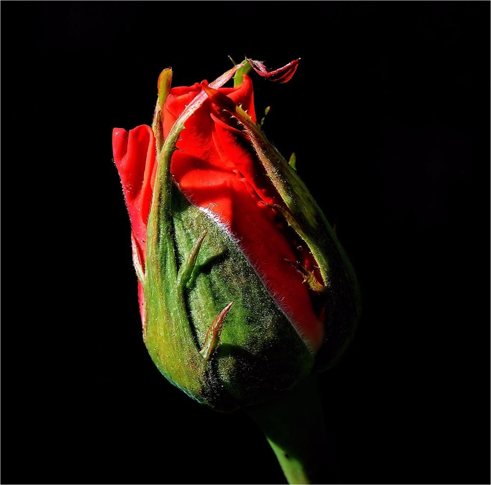 Rose en bouton. by BernardSerge