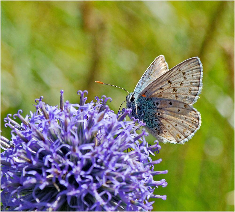 Papillon bleu. by BernardSerge