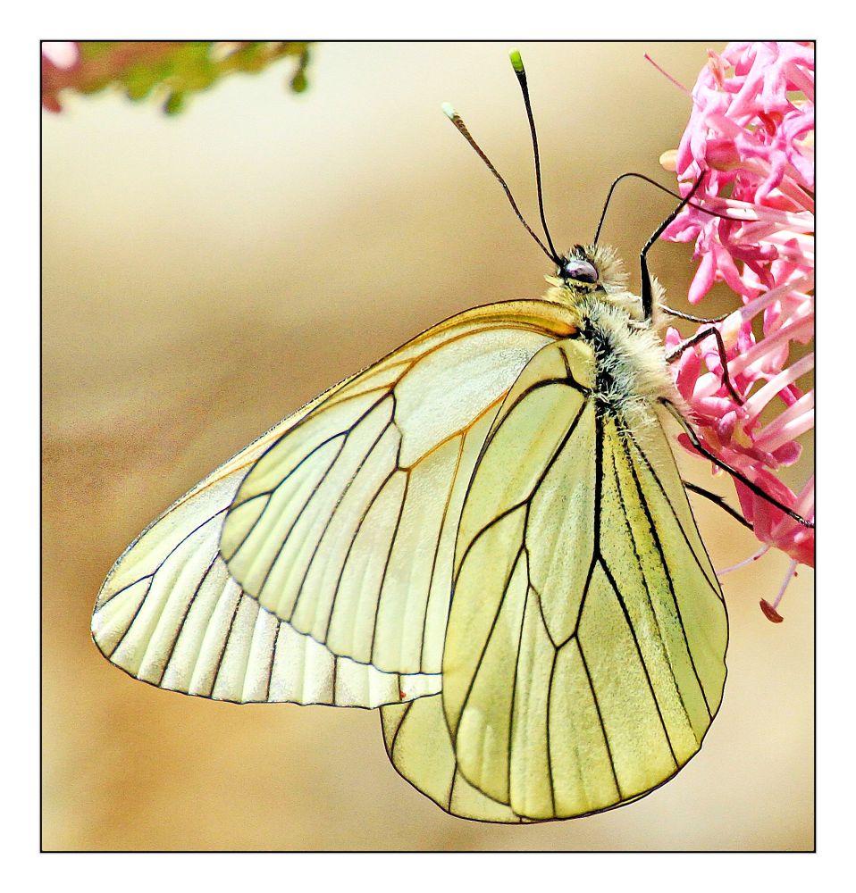 Papillon by BernardSerge