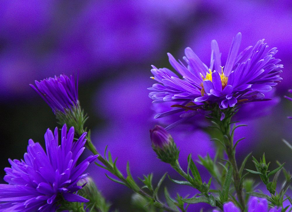 Michaelmas Daisies in the Park by ChrissieBarrow