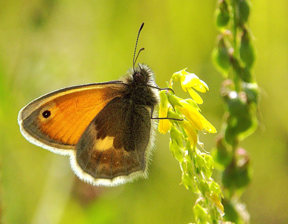 Photo in Macro #ypa2013 #butterfly #insect #small heath #sunlight #wings #legs #antennae