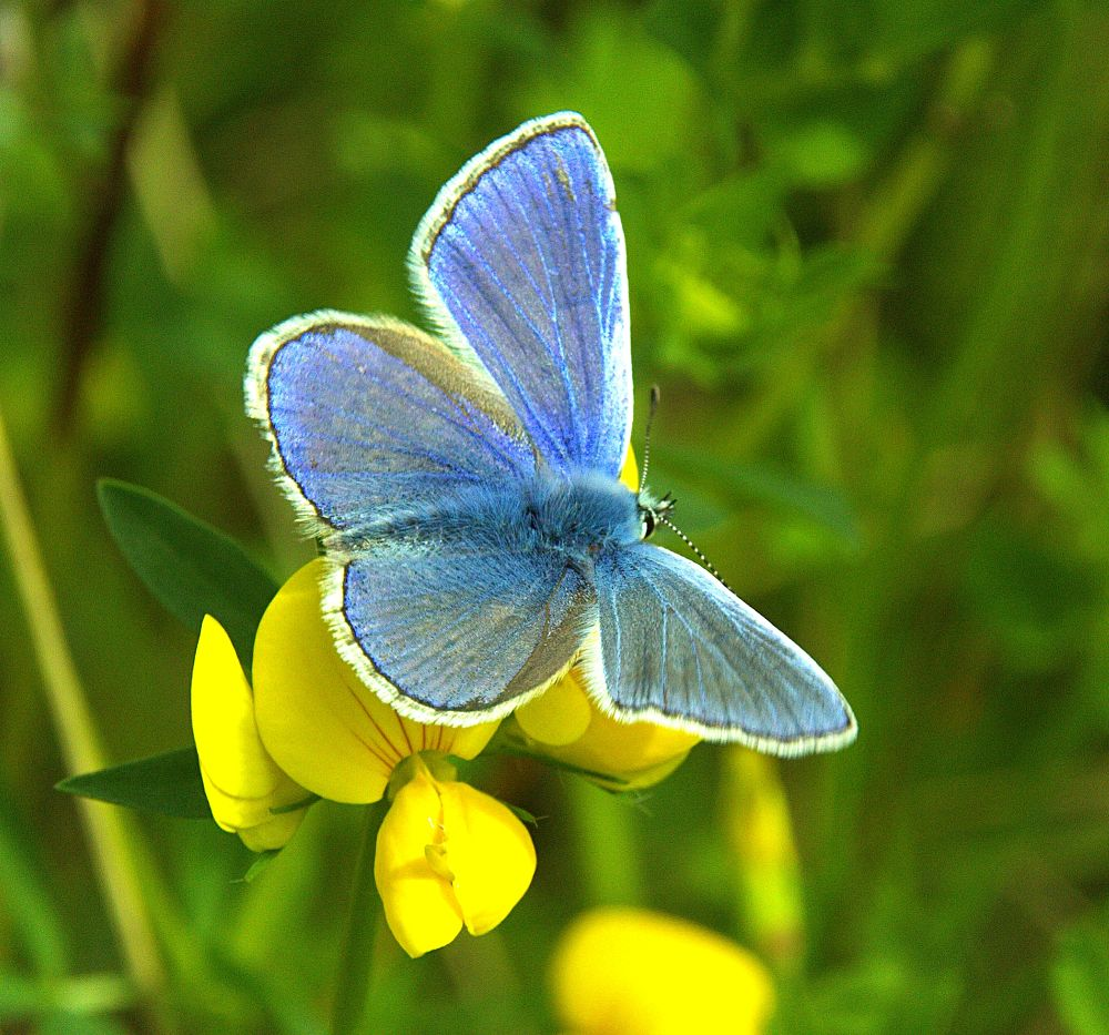 Photo in Macro #ypa2013 #butterfly #insect #common blue #wings #closeup #bokeh #macro #antennae #abdomen #birds foot trefoil #wild #flower #yellow #blue #green