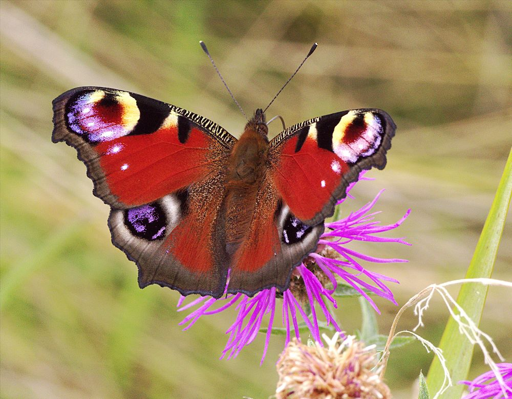 Peacock Butterfly by ChrissieBarrow