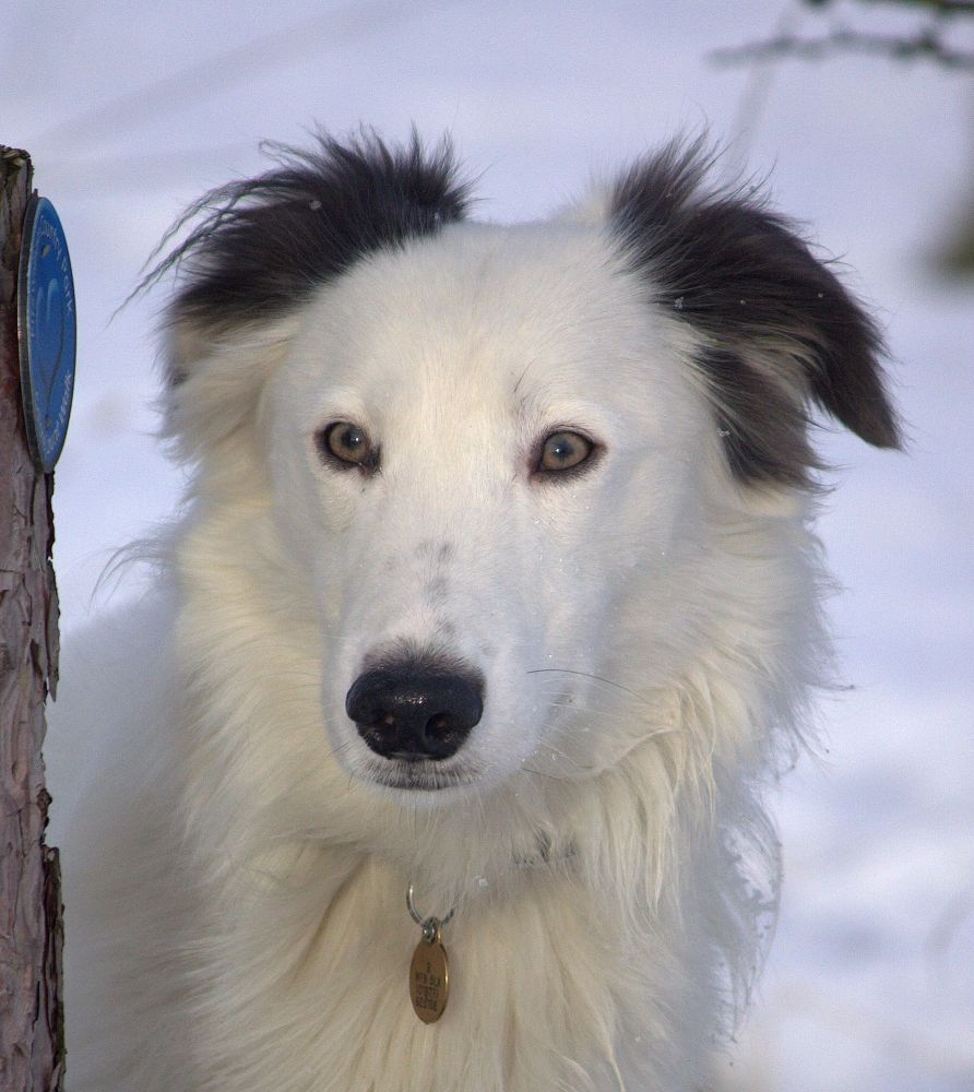 Photo in Animal #ypa2013 #dog #lurcher #pet #portrait #fur #white #snow #ears #eyes #nose #tag