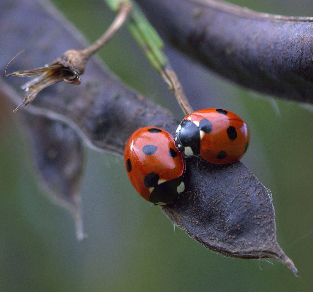 Two Little Ladybirds ... by ChrissieBarrow