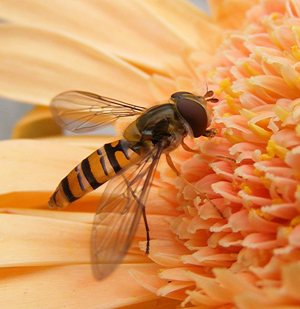 Hoverfly on a Gerbera Flower by ChrissieBarrow