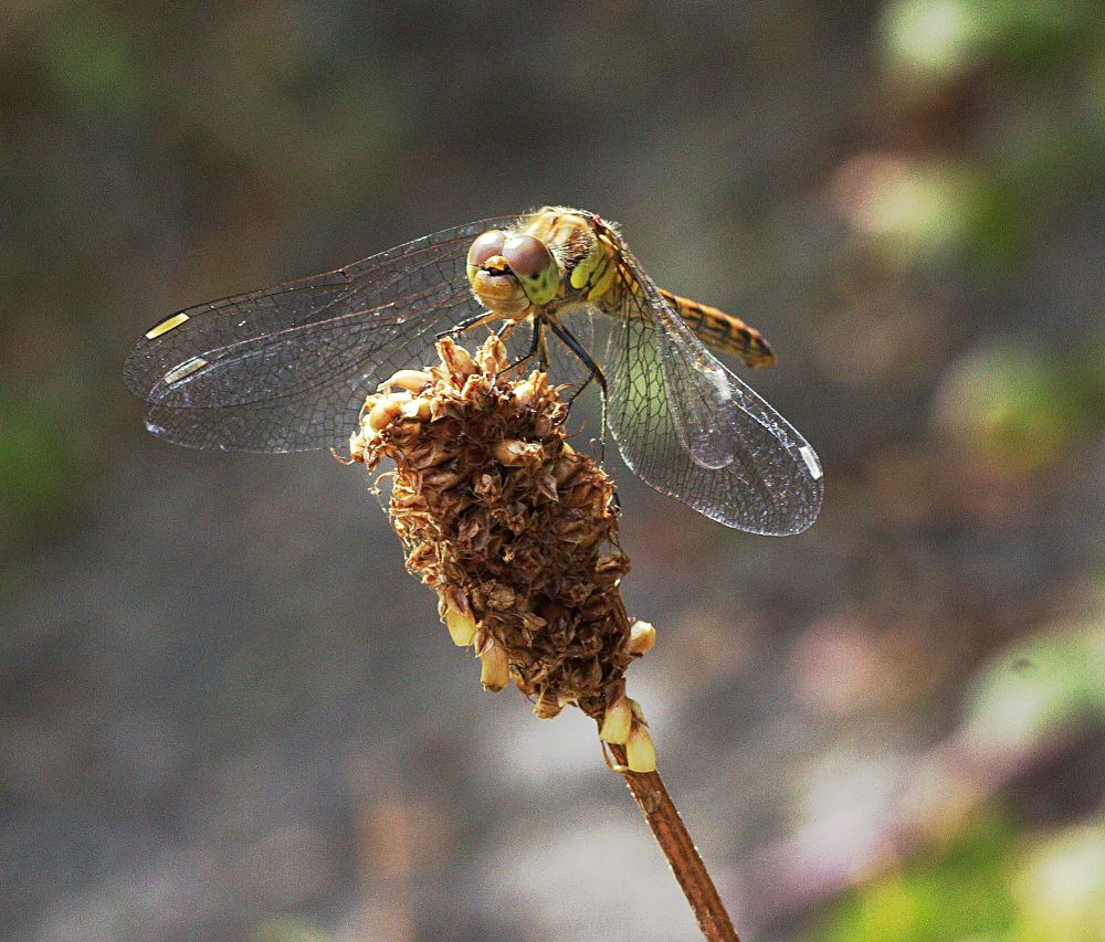 Common Darter Dragonfly by ChrissieBarrow
