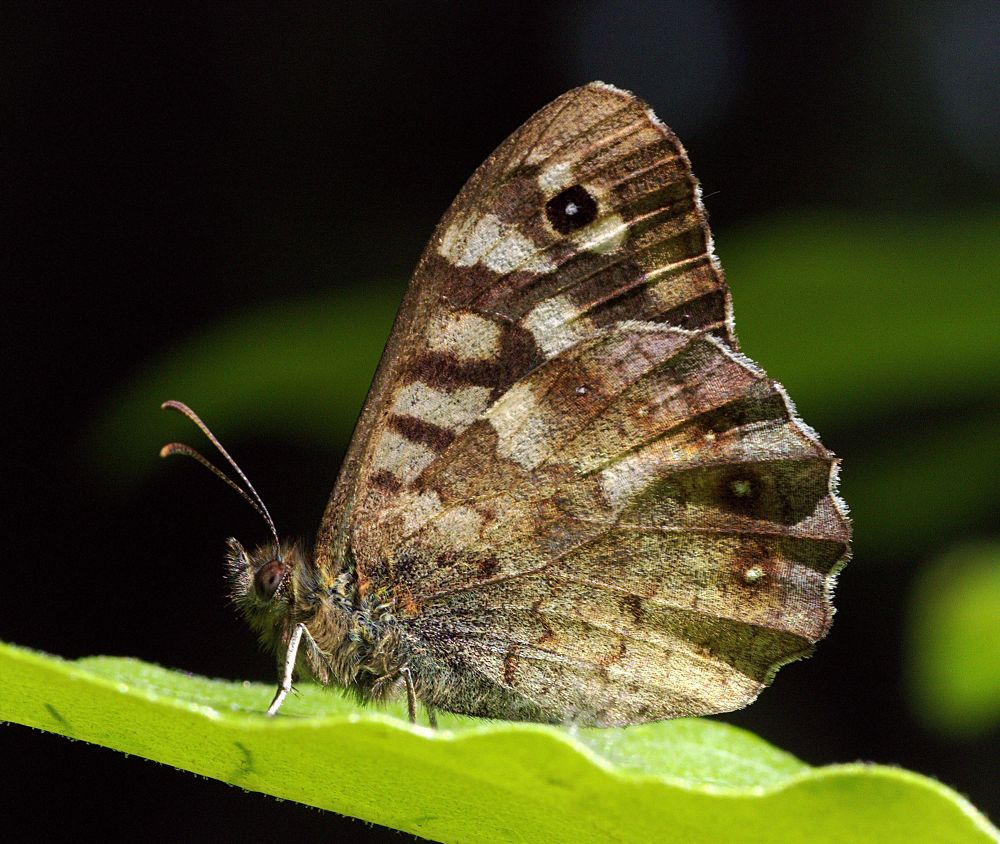 Speckled Wood Butterfly by ChrissieBarrow