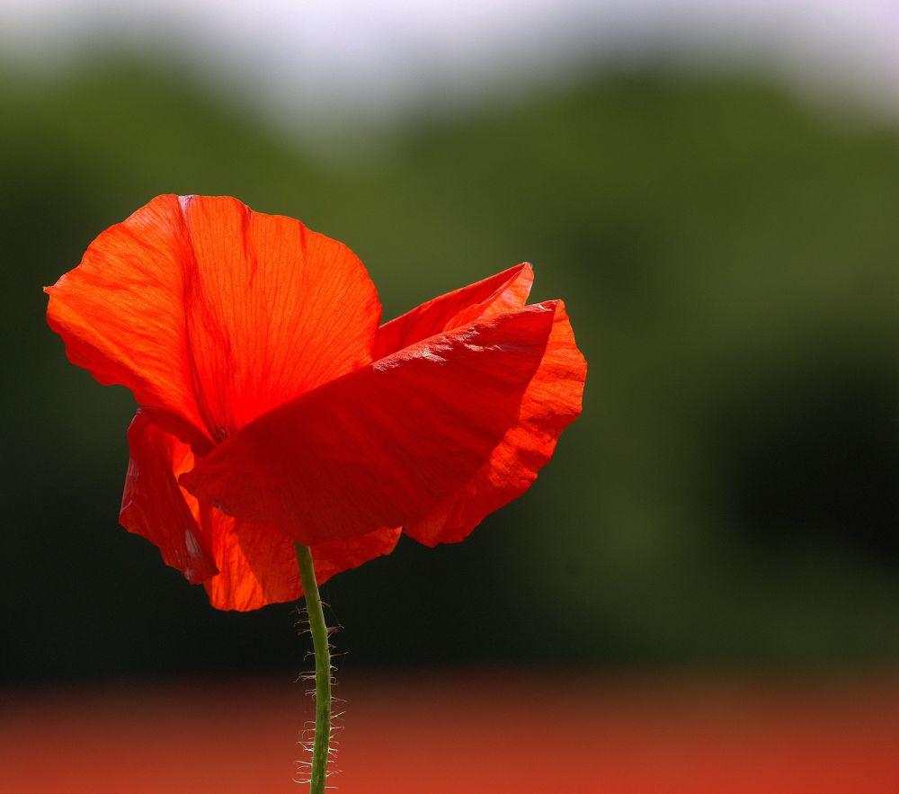 Photo in Fine Art #ypa2013 #flower #wild #poppy #blowing #wind #red #petals #bokeh #stem #green #hairs