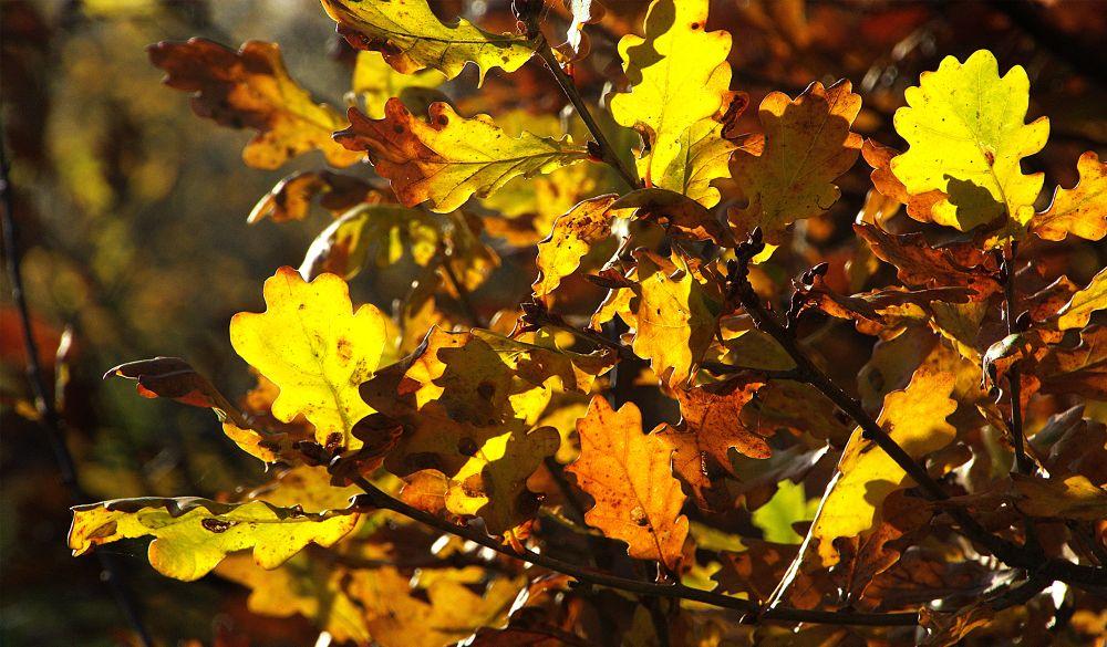 Sunlit Oak Leaves by ChrissieBarrow