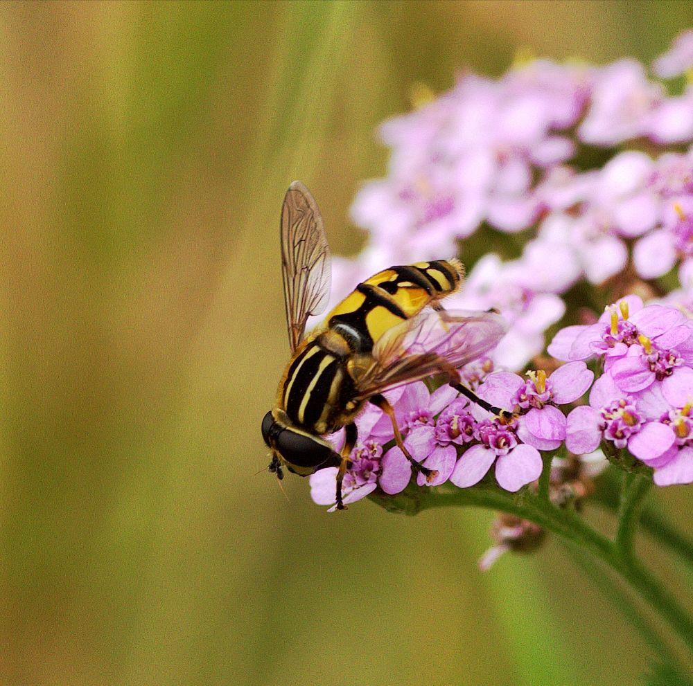 Hoverfly on Pink Yarrow by ChrissieBarrow