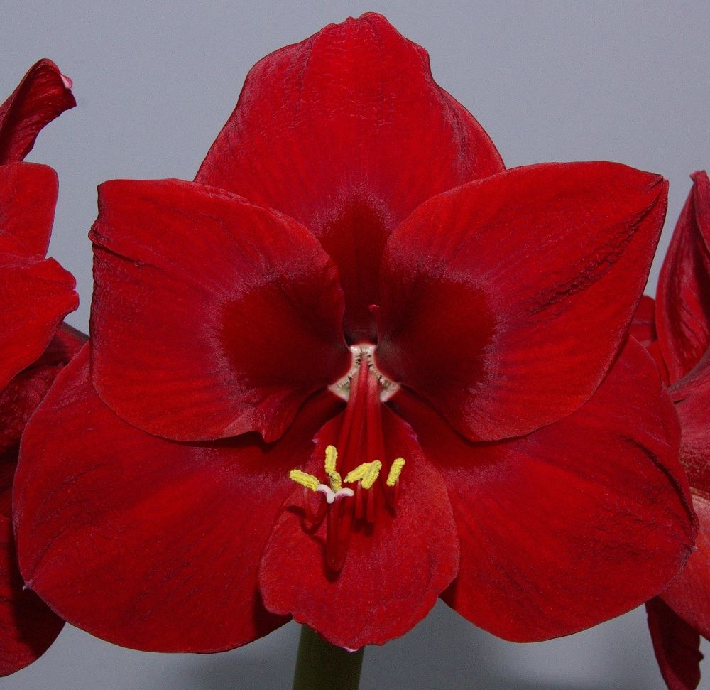 Amaryllis in Full Bloom by ChrissieBarrow