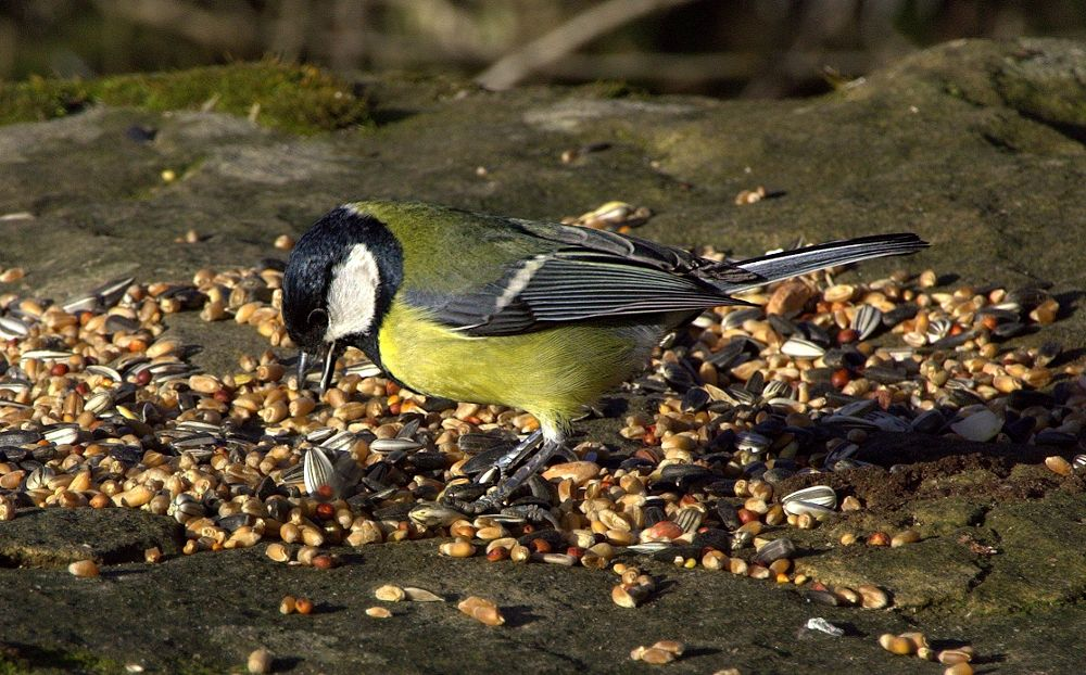 Great Tit Lunching by ChrissieBarrow