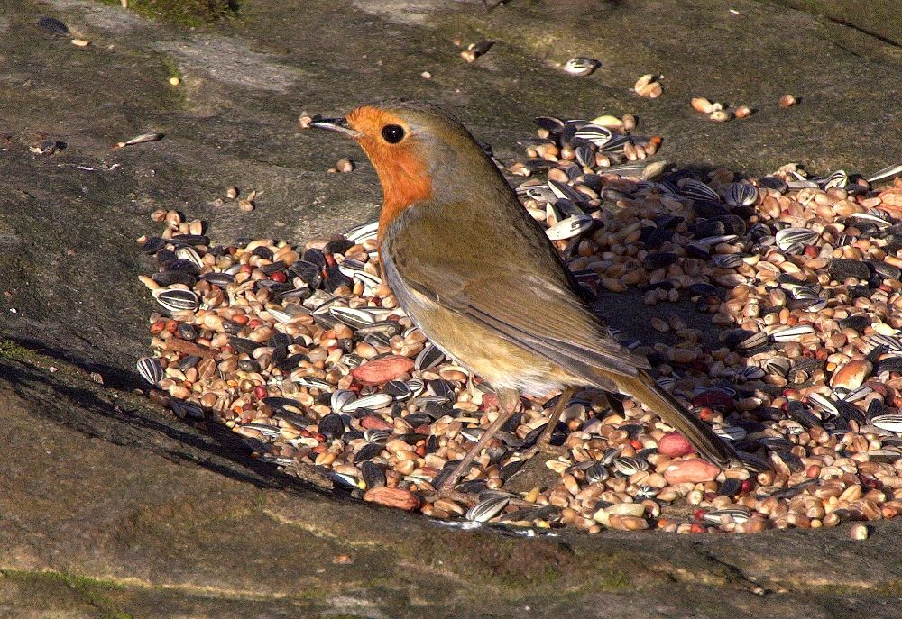 Photo in Animal #bird #wild #robin #feathers #closeup #tail #wing #eye #beak #red #breast #chest #brown #seed