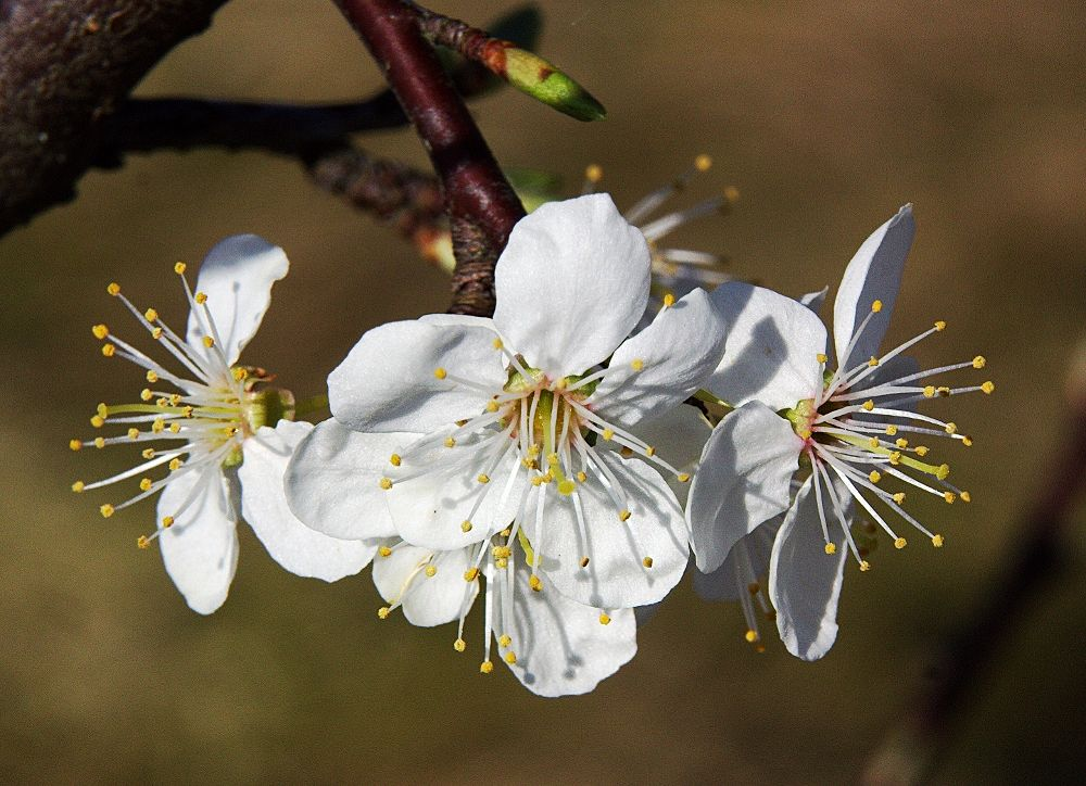 Spring Blossom by ChrissieBarrow