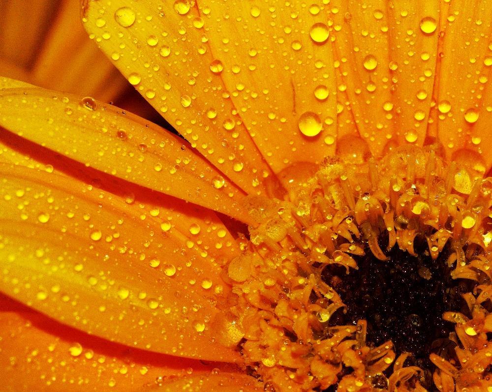 Orange Gerbera by ChrissieBarrow