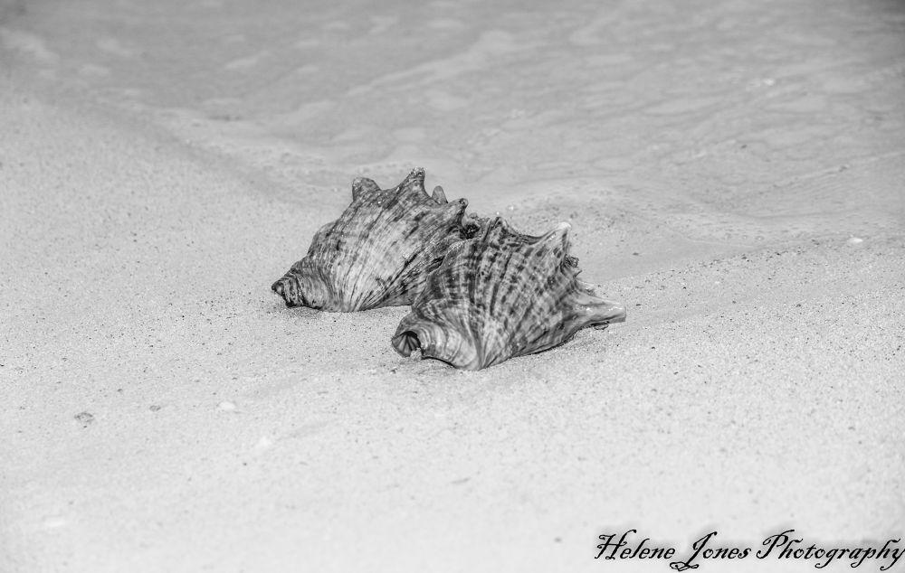 seashell2013 by Helen Jones