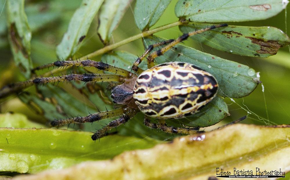 Spider by ediegobatista