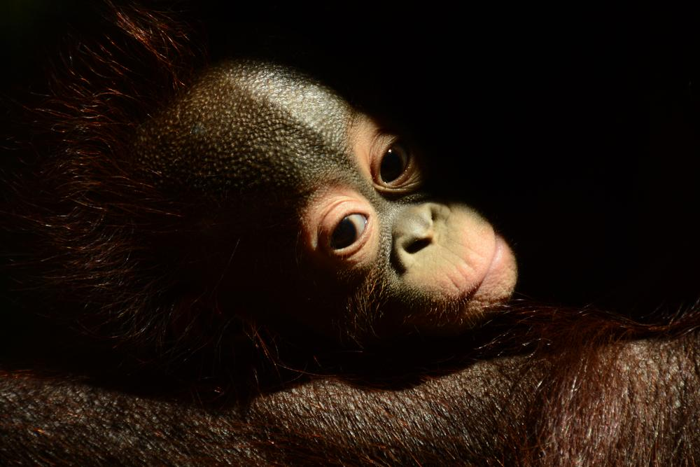 Petit orangutan by Josep Vallès