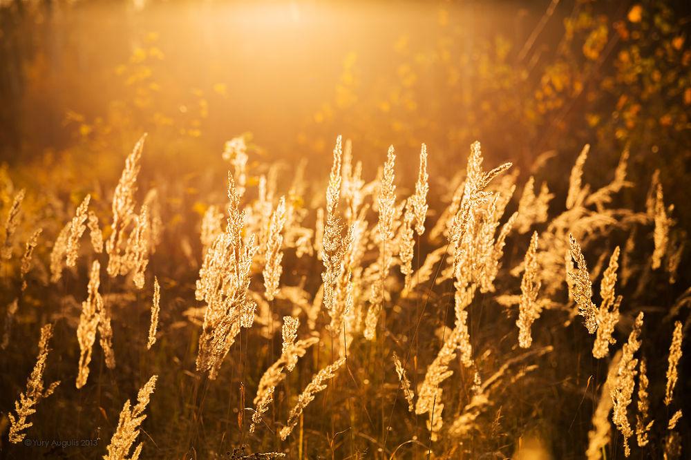 Golden grass by Yury Augulis