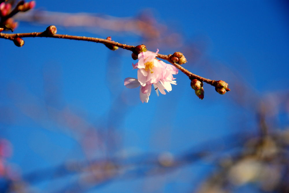january blossom by Lucy Hobbs