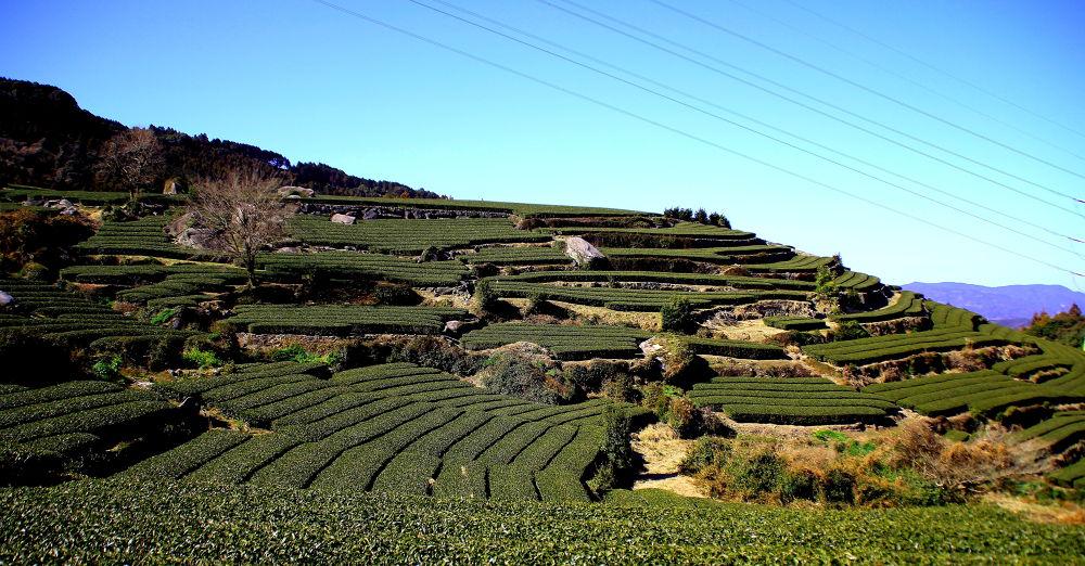 Tea Field by Jf   Hitoshi