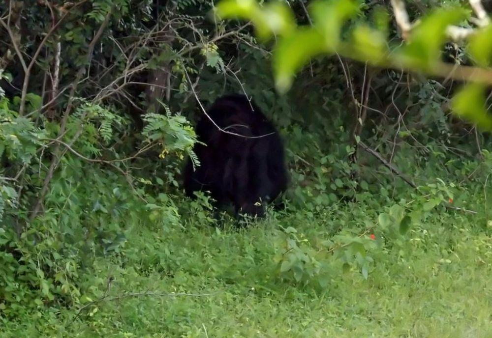 Black bear 2 by Chris Roughley