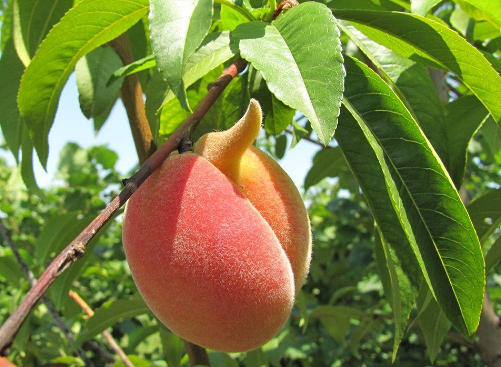 Peach by ShumenBulgaria