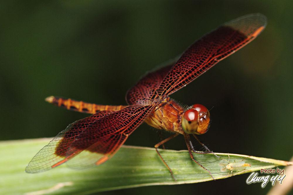 Dragonfly [Libellulidae] Neurothemis Ramburii (Kaup in Brauer, 1866) 善变蜻蜓 by cyy4993