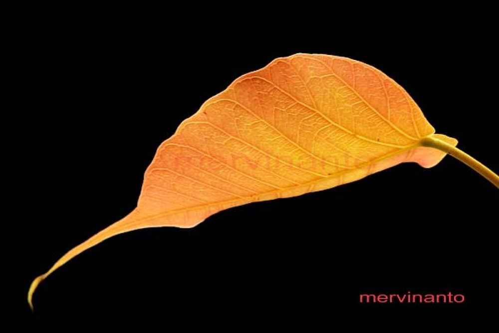 golden leaf by mervinantov