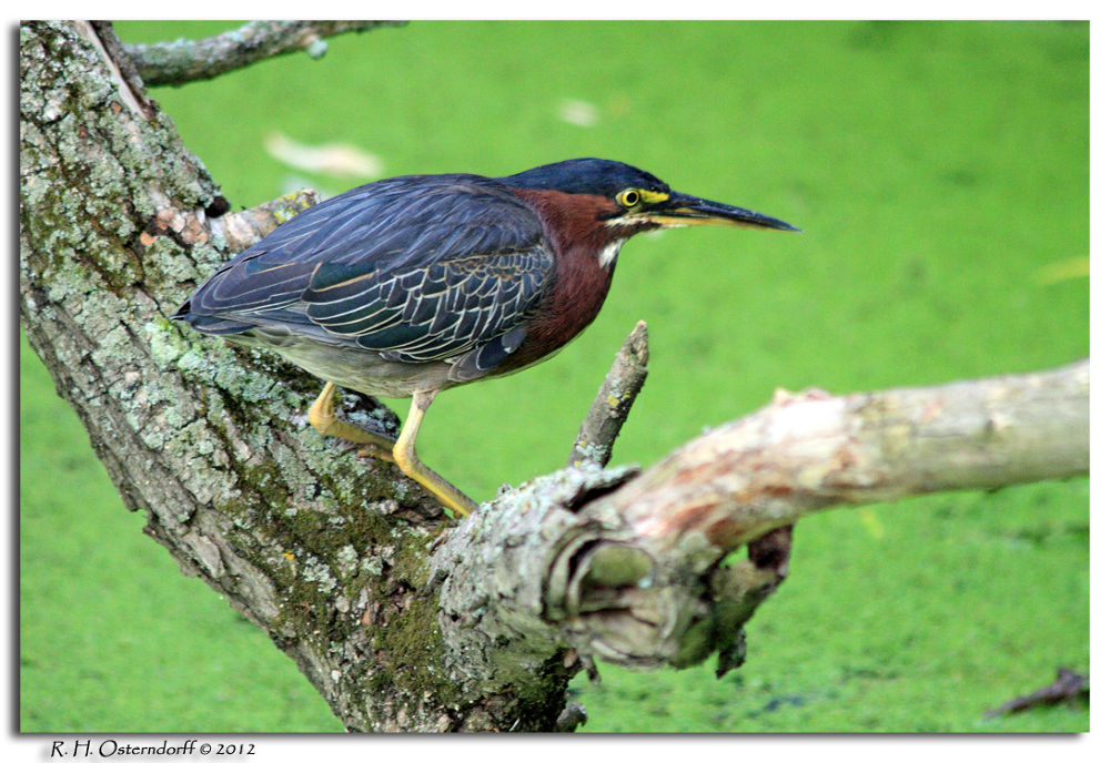 Green Heron by timerider2012