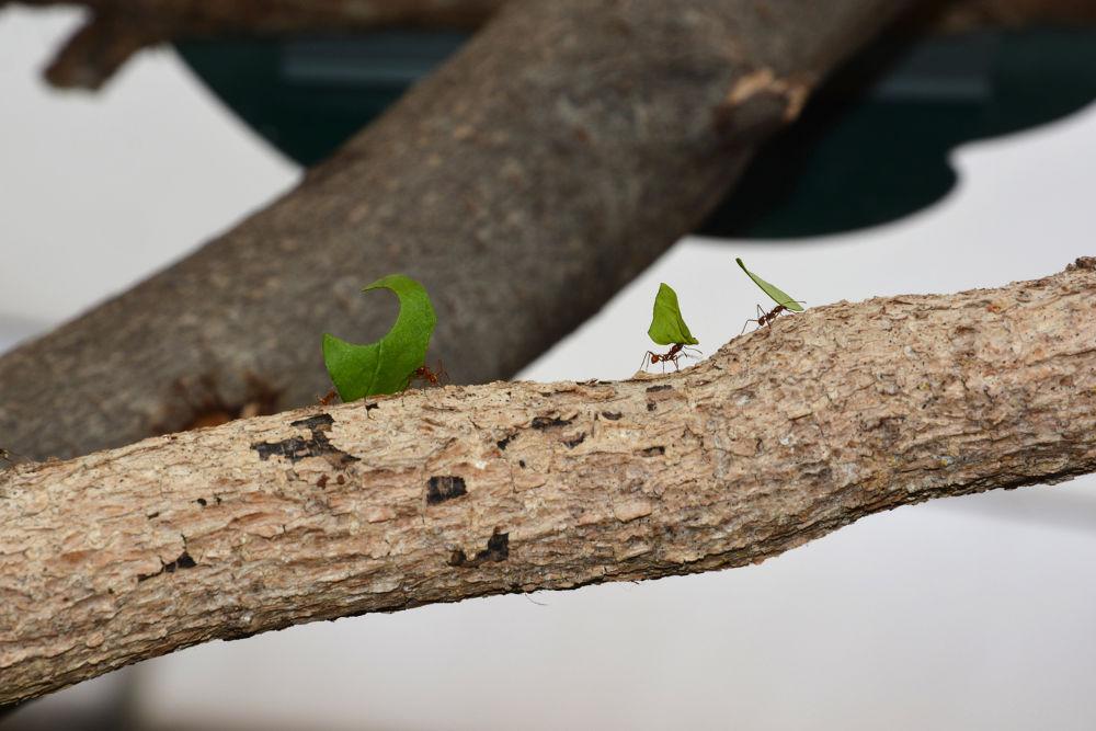Leaf cutting Ants by Gillyrick