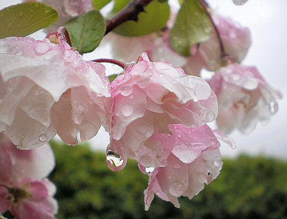'Raindrops on Apple Blossom' by  Dianne J. Larsen