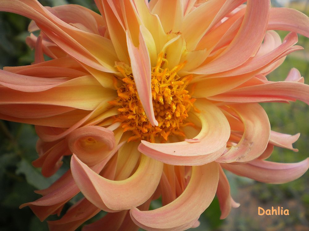 'Twisted Sister' .. a Dahlia from Seed. by  Dianne J. Larsen
