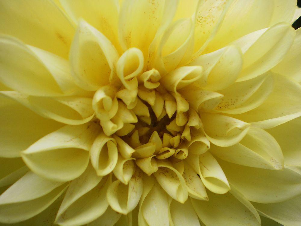Yellow Dahlia by  Dianne J. Larsen