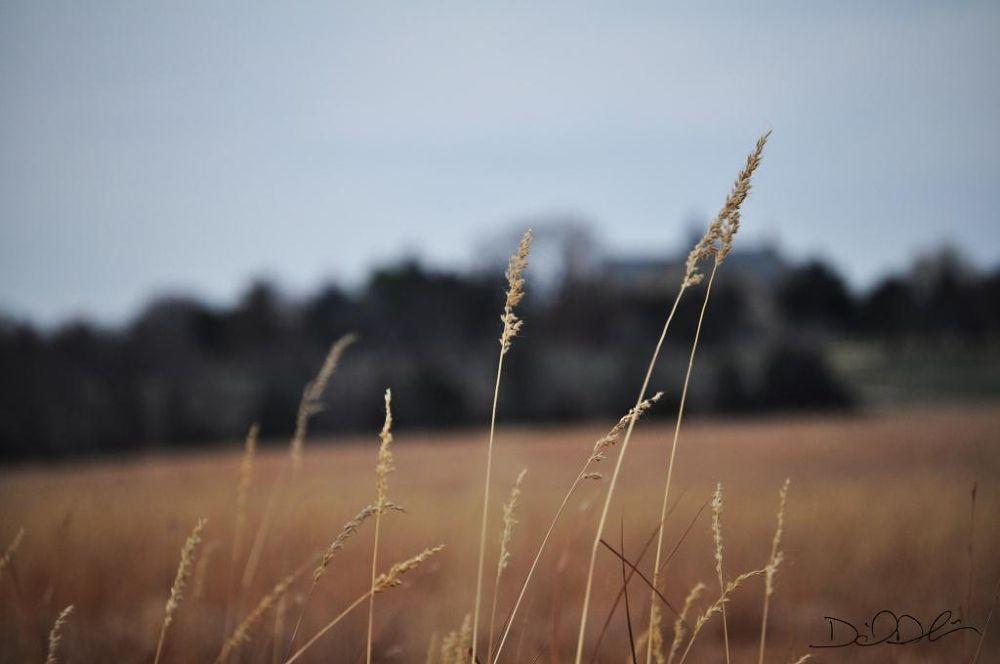 Kansas Prairie Grass by Daniel Dubois