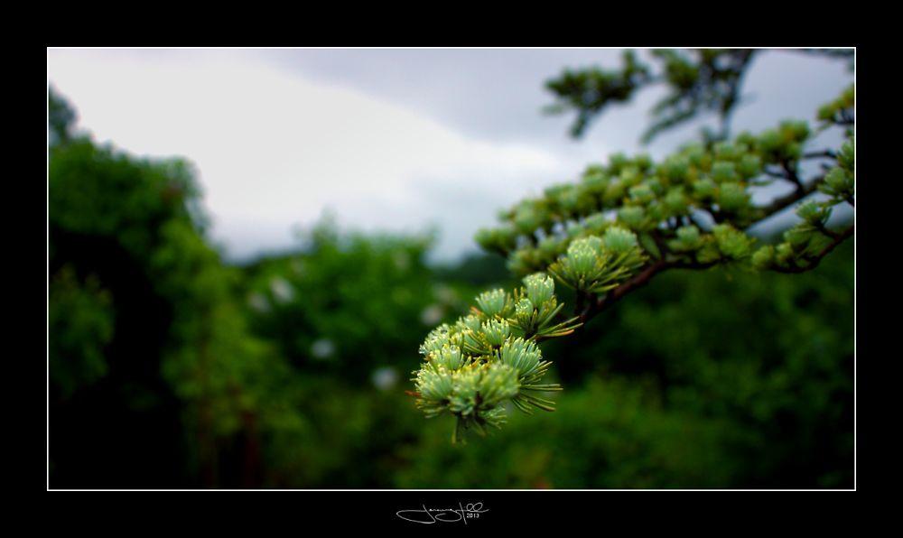 Blue Atlantic Cedar (Cedrus Atlantica Glauca Pendula).jpg by JeremyHill