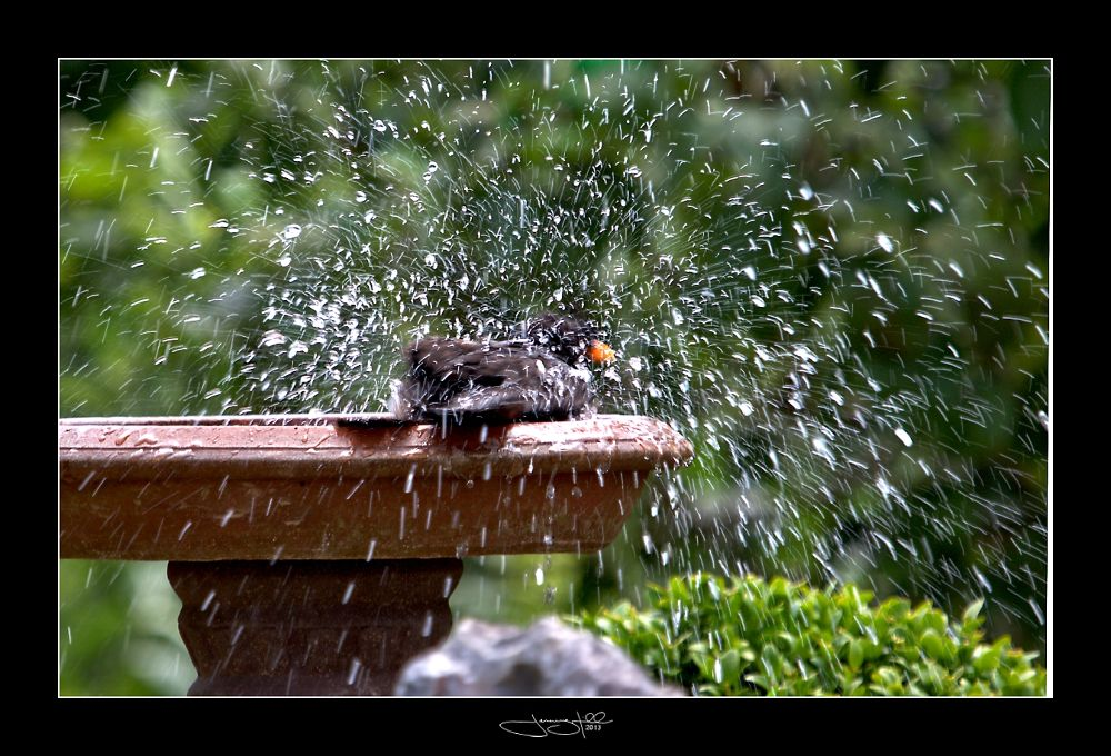 Fledgling Blackbird by JeremyHill