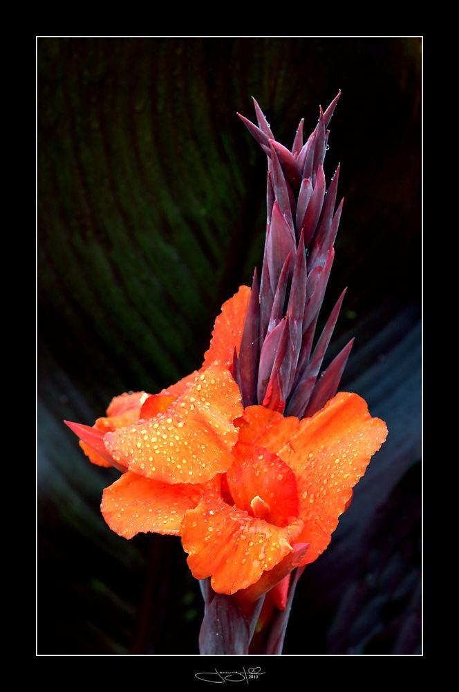 Canna Lily by JeremyHill