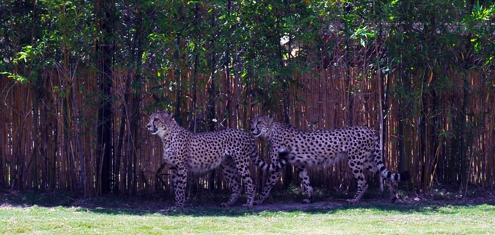 Photo in Animal #fast cat #cheetah #big cat #zoo #busch gardens #florida #john bowman