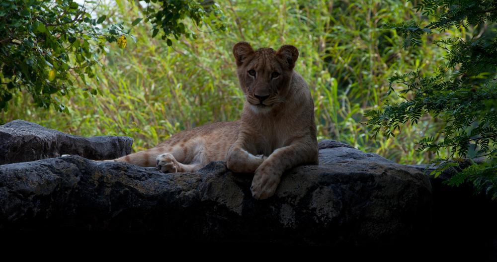 Photo in Animal #lion #lioness #cub #lion cub #shtuko #busch gardens #zoo #john bowman