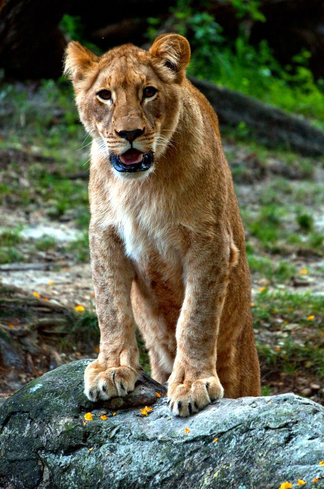 Photo in Animal #shaba #busch gardens #zoo #tampa #florida #john bowman #lioness #lion #lion cubs #cubs #big cat
