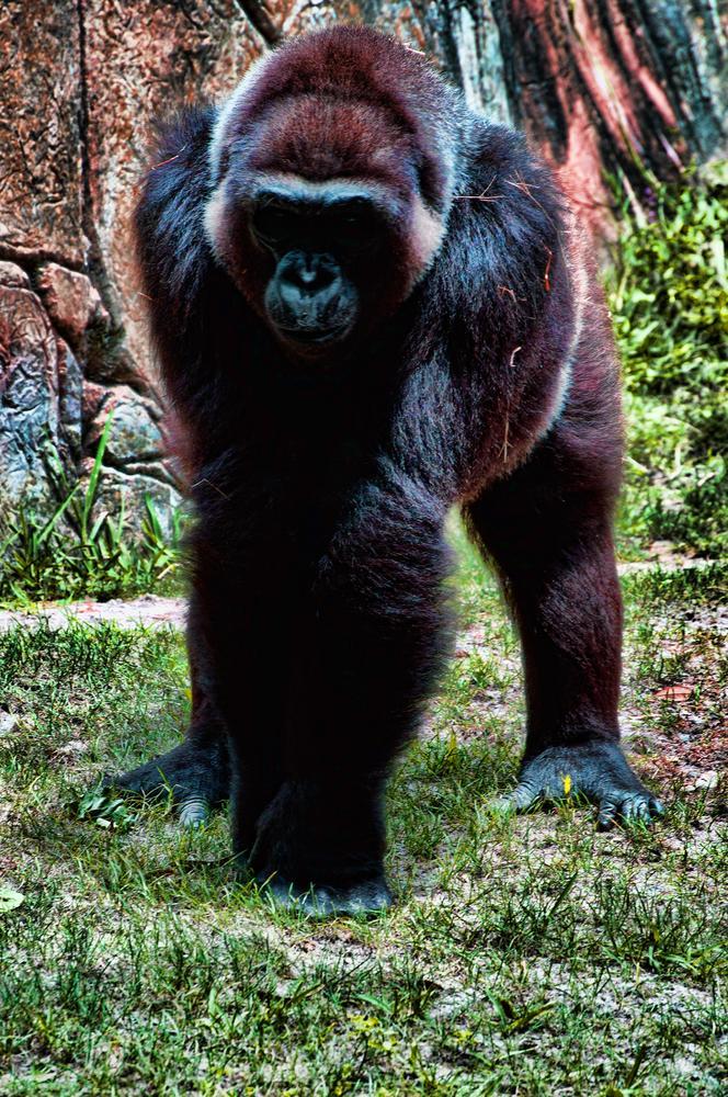 Gorilla by John Bowman