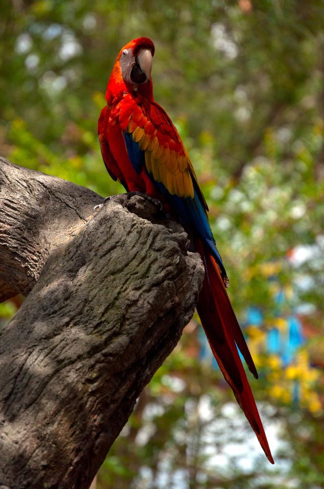 Photo in Animal #youpic #photogra[hy #john bowman #scarlet macaw #macaw #bird #large bird