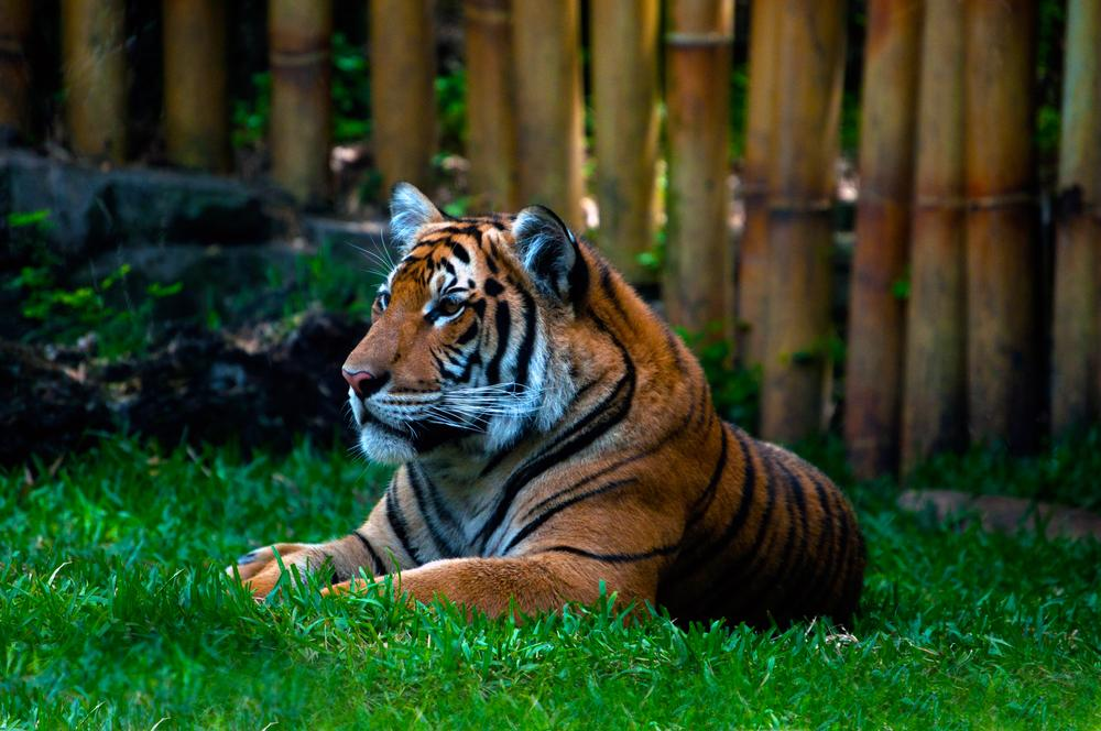 Photo in Animal #photography #youpic #john bowman #tiger #asian tiger #big cat #favorite pic #mighty tiger