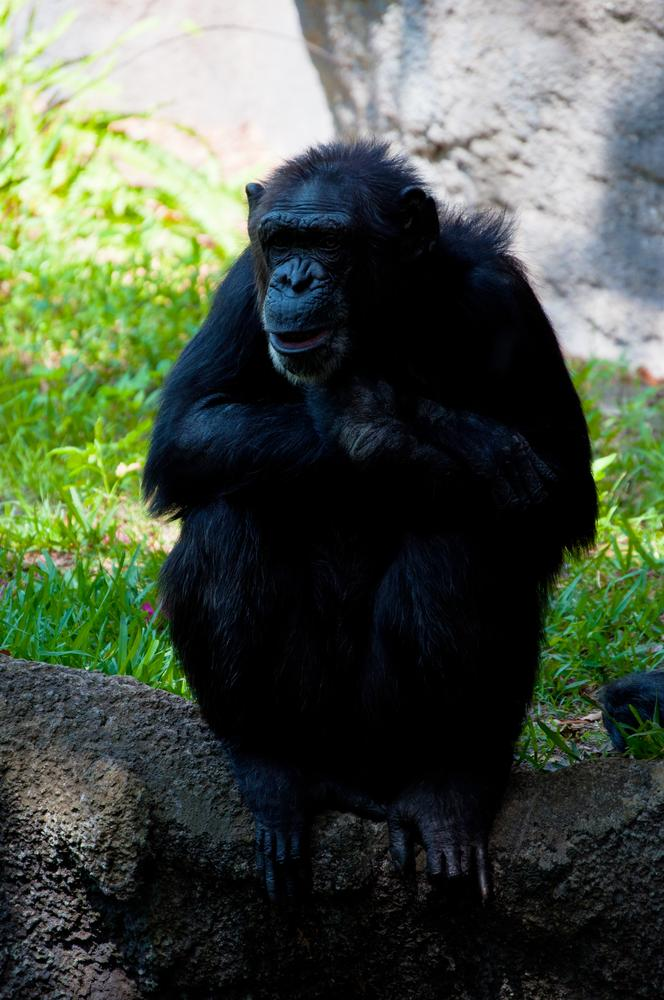 Chimp relaxing by John Bowman