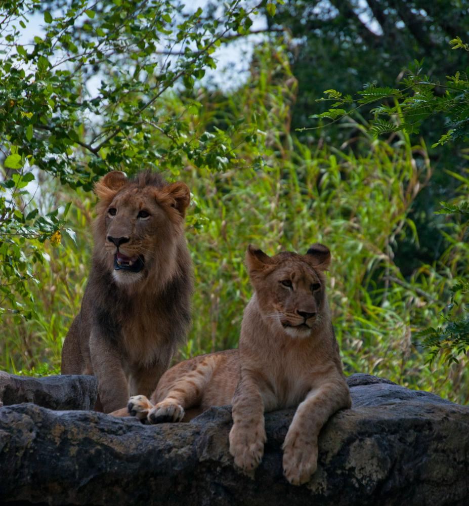 Kembe and Shaba lion cubs by John Bowman